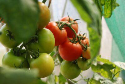 トマトのカビがつく原因は?